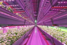 FarmedHere, the nation's largest indoor vertical farm and the only certified organic indoor farm is planning to expand to 18 cities across the U.S. Chicago