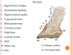 horse hoof abscess diagram dental abscess diagram hoof diagram | horse hoof abscess coronary band | study ...