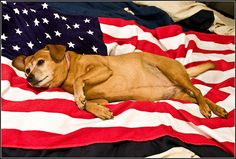 Chubby Pooch on a Flag Blanket --Top Ten Fourth of July Pet Safety Tips -- petMD -- 7-1-16