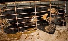 Bear Farming: Stop the use of bear bile farming in Korea and China