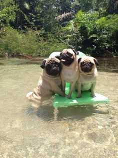 A nice breeze, cool water and together. #dogs #pets #Pugs facebook.com/sodoggonefunny