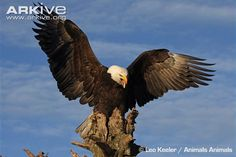 Instantly recognisable as the national emblem of the United States, the bald eagle (Haliaeetus leucocephalus) has long been a key symbol in the human cultures of the Americas. The second largest...