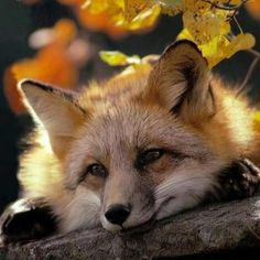the mate of the disdainful fox, patiently waiting for his return