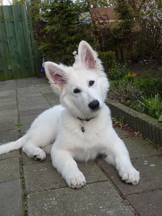 White Shepherd Dog / Berger Blanc Suisse