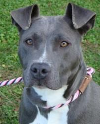 NO LONGER AVAILABLE.Lavinia-URGENT is an adoptable Pit Bull Terrier Dog in Red Bluff, CA. ***********THIS ANIMAL HAS BEEN RED FLAGGED AS URGENT. SHE HAS BEEN AT THE SHELTER FOR OVER A MONTH AND HER TIME IS LIMITED. PLEAS...