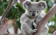Resultado de imagen de koala wallpaper