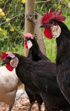 Black Minorca hens | Organic Gardener Magazine Australia