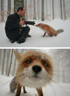 Curious Fox / close up / fox photo / LOVE IT! / Enchanted Nature
