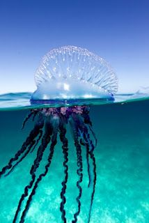When I was three years old, swimming in the Atlantic off Key West, FL, I was stung by one of these sea monsters. I can remember rushing home and being put in a bath with oatmeal. Later in life I learned my attacker was a Portuguese Man of War.   What is one of your earliest memories from your childhood? What is it about this memory that makes it hard to forget?