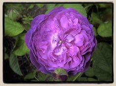 Belle de Crecy, a Gallica rose. Possibly originated at the home of Madame de Pompadour, mistress of Louis XV. Bold violet that ages into an almost grey blue.