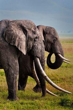 Elephants never forget, animal photography, elephant photography, animals b All About Elephants, Save The Elephants, Baby Elephants, Nature Animals, Animals And Pets, Cute Animals, Wild Animals, Baby Animals, Elephant Photography