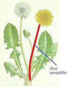 Pampeliška, smetanka lékařská - účinky na zdraví, co léčí, použití, užívání, využití - Bylinky pro všechny