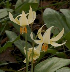 native nw perennial: fawn lily- shade