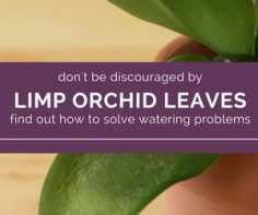 Limp Leaves Signal A Watering Problem How To Water For Healthy Orchids Orchid Leaves Orchids Plant Leaves