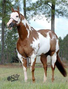 Paint horses aqha More Horses And Dogs, Cute Horses, Horse Love, Show Horses, Animals And Pets, Cute Animals, American Paint Horse, Quarter Horses, Most Beautiful Animals