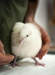 SNOW WHITE KIWI BIRD.