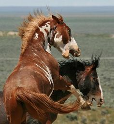 perfect american mustang horses | 92 best images about American Mustang Horse on Pinterest | Mustang horses, Wild mustangs and Arizona