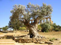 Olivier millénaire à Agrigente © Rc Sicilian, Law, Architecture, City, Plants, Olive Tree, Arquitetura, Cities, Planters