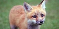 Ask your MP to vote against fox hunting