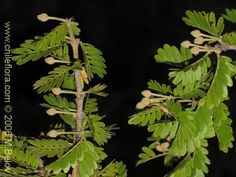 Imágen de Porlieria chilensis (Guayacán / Palo santo).