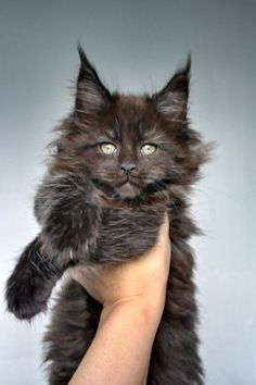 Maine Coon of Superbia - Suberbias C-Kitten - Superbias Cadya http://www.mainecoonguide.com/kittens/