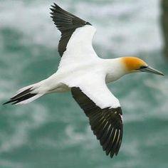 Morus serrator (Australian gannet) Breeding colonies are found off the coast of south-east Australia, Tasmania and New Zealand.