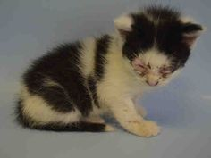 "SGT PEPPER - A1040451 - - Brooklyn **TO BE DESTROYED 06/22/15***SGT. PEPPER'S LONELY HEARTS CLUB BAND-BE BLACK AND WHITE ANGEL'S HERO! *NEW HOPE ONLY DUE TO AGE* Let's review the meaning of the ""Rescue Only"" as it applies to this kitten, shall we? ""Rescue Only"" means that Sgt. Pepper is too young, and too small, to be adopted directly by someone who walks into the ACC, or who uses the public website. Whoever decides to foster/adopt this li"