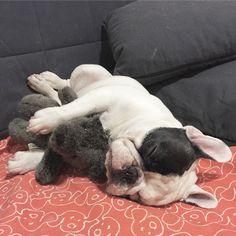 Manny, the French Bulldog