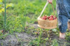 picking strawberries - Google Search Strawberries, Picnic, Basket, Camping, Google Search, Campsite, Strawberry Fruit, Picnics, Strawberry
