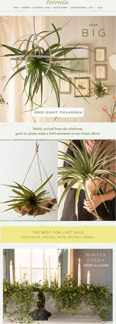 Giant #tillandsia have us thinking big for #winter #decor at #shopterrain December 30