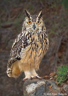 INDIAN EAGLE-OWL / (Bubo bengalensis) also known as rock eagle-owl or Bengal eagle-owl.