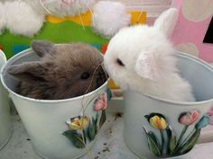 My holland lop bunnies Cute Baby Bunnies, Cute Baby Animals, Animals And Pets, Cute Babies, Lop Bunnies, Bunny Care, Hamster, Fluffy Animals, Cute Animal Pictures