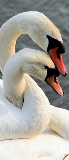 Swans  | The Wilderness Way Adventure Resort
