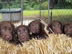 Silver, charcoal, chocolate puppies for sale