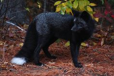 saw my first ever black fox in the wild yesterday and I am utterly fascinated by this magical creature.