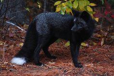 11 red fox - 21 Melanistic (All Black) Animals Rare Animals, Animals And Pets, Beautiful Creatures, Animals Beautiful, Magical Creatures, Adorable Animals, Art Fox, Fuchs Baby, Melanistic Animals