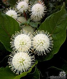Cephalanthus occidentalis or Bullet Flower is striking during flowering with its globular white flowers Flower Garden, White Flowers, Plants, Strange Flowers, Rare Flowers, Amazing Flowers, Beautiful Flowers, Trees To Plant, Flowers