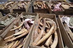 The Ministry of Environment and Water, in cooperation with Dubai Customs, has seized a shipment of 259 pieces of raw ivory coming from an African country through the port of Jebel Ali, Dubai. Rainforest Habitat, Ivory Trade, Elephants Never Forget, Taken For Granted, African Elephant, Ministry, Adoption, Environment, Dubai Uae