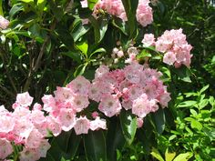 """Mountain Laurel – few plants are more dazzling in full bloom than Kalmia latifolia.  Another mountainside plant, this one can still do quite well as a garden plant in North Georgia.  I have used it as a foundation plant, and you can fit a variety of cultivars in better nurseries.  'Elf' and 'Minuet' are two dwarf forms.  Similar to Rhododendrons, plant them a little """"high"""" to achieve the good drainage that they need."""