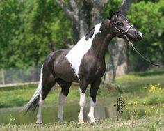 miniature horses | Goodsell Miniature Horses