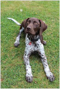 Luka ~ German Shorthaired Pointer Pup ~ Classic Look