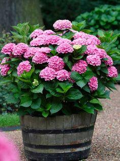 Hydrangea macrophylla 'Early Sensation ®' / Garten-Hortensie 'Early Sensation'