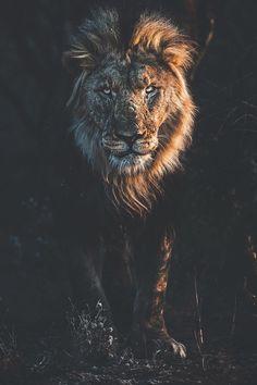 Photo by C'est moi Simba, c'est moi le roi . Lion Images, Lion Pictures, Tier Wallpaper, Animal Wallpaper, Animals And Pets, Cute Animals, Jungle Animals, Wild Animals, Baby Animals