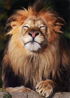 Lion Face - Avanti Father's Day Card Avanti Press
