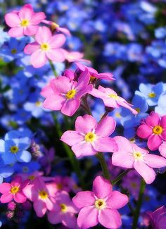 forget-me-not-flower-4