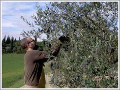 #olionuovo #oil #tuscanoil #tuscany #olives  #oliveharvest #villalalodola