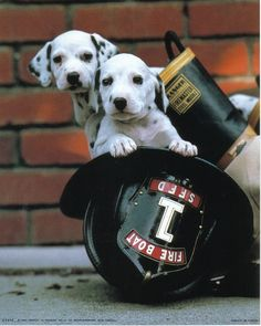 Why Are Dalmatians the Official Firehouse Dogs? - http://www.snapfon.com/blog/dalmatians-official-firehouse-dogs/