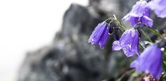 Alpine Bellflower (Campanula alpina) by microThread.deviantart.com on @DeviantArt