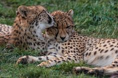 Female cheetah and cub by David Rodrigues on 500px