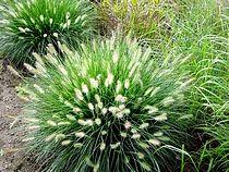 Siergras - Pennisetum alopecuriodes hameln Mooi met allium ertussen